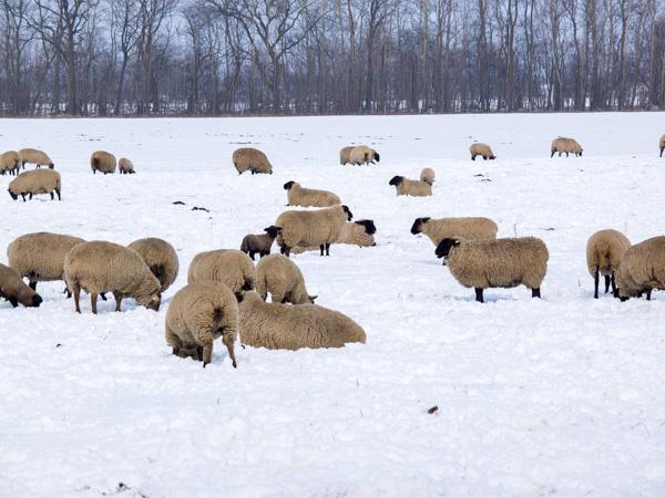 Schafe im Havelland